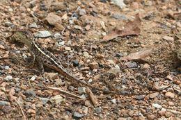 Image of <i>Amphibolurus nobbi</i>