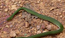 Image of <i>Erythrolamprus typhlus</i>