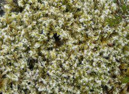 Image of woolly fringe-moss