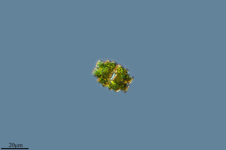 Image of <i>Euastrum dubium</i>