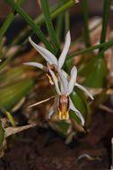 Image of <i>Coelogyne graminifolia</i>