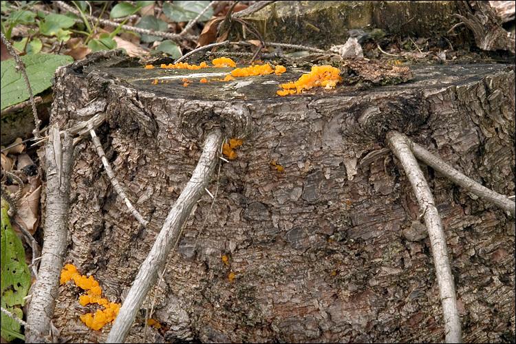 Image of Orange jelly spot