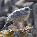 Image of European herring gull