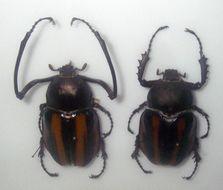 Image of <i>Euchirus dupontianus</i> Burmeister 1841
