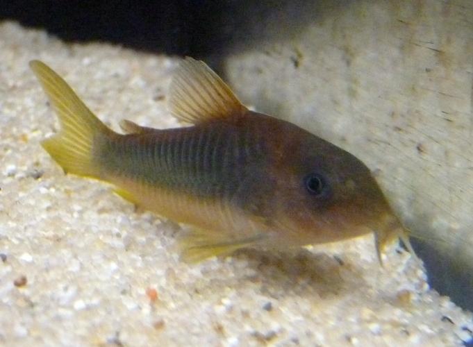 Image of green gold catfish