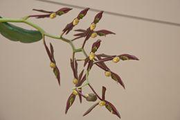 Image of <i>Catasetum saccatum</i> Lindl.