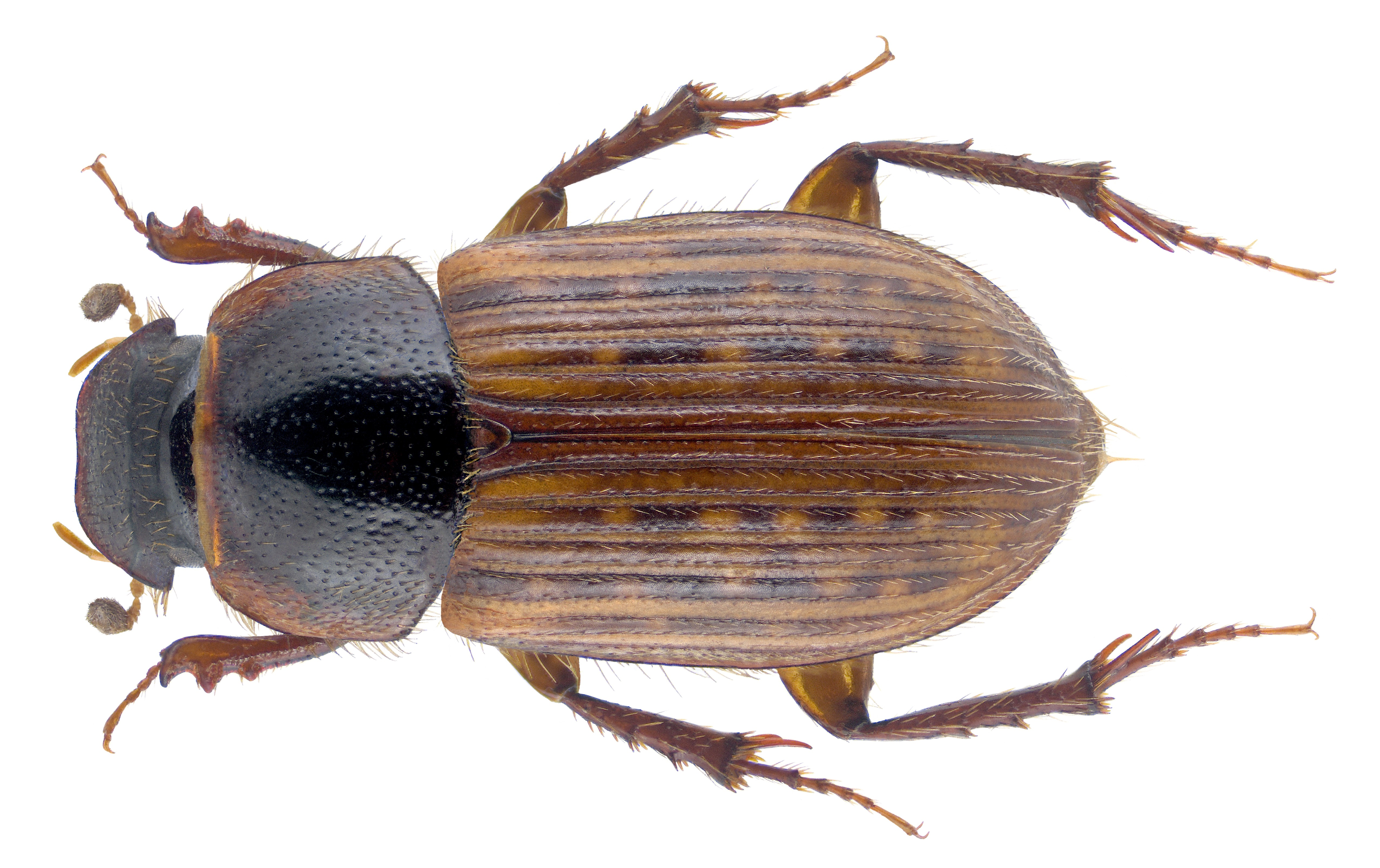 Image of <i>Euheptaulacus atlantis</i> (Peyerimhoff 1925)