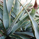 Image of twistleaf yucca