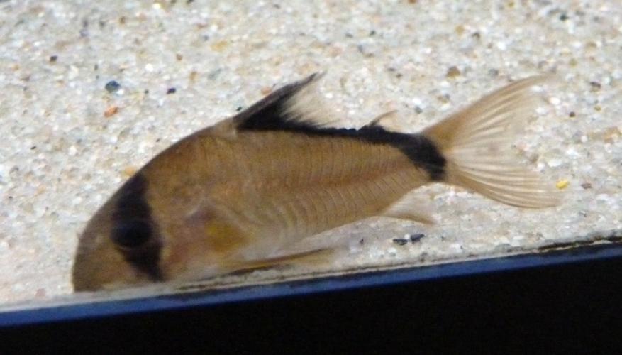 Image of Bandit catfish