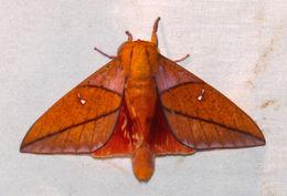 Image of <i>Adeloneivaia jason</i> (Boisduval 1872)