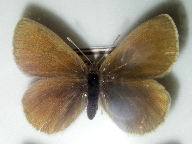 Image of Yellow-spotted Ringlet