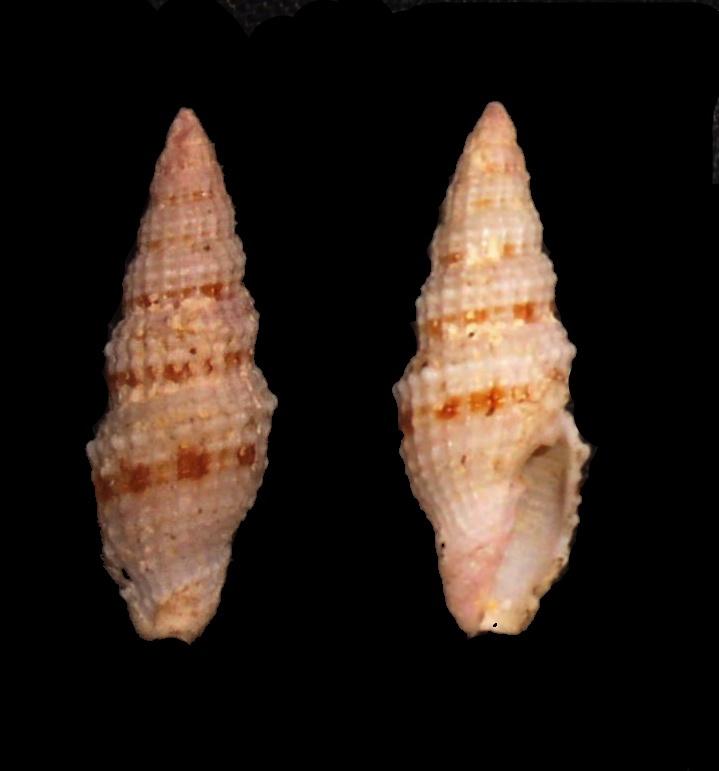 Image of <i>Vexillum corbicula</i> (G. B. Sowerby II 1870)
