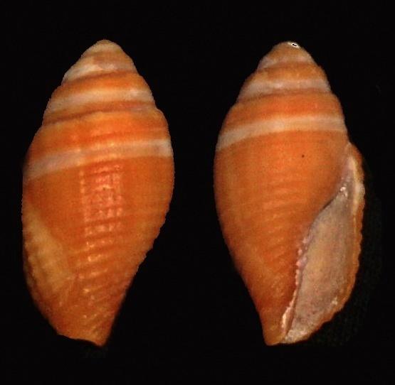 Image of <i>Mitra aurantia</i> (Gmelin 1791)