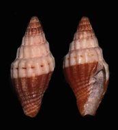 Image of <i>Vexillum sinuosum</i> H. Turner 2008