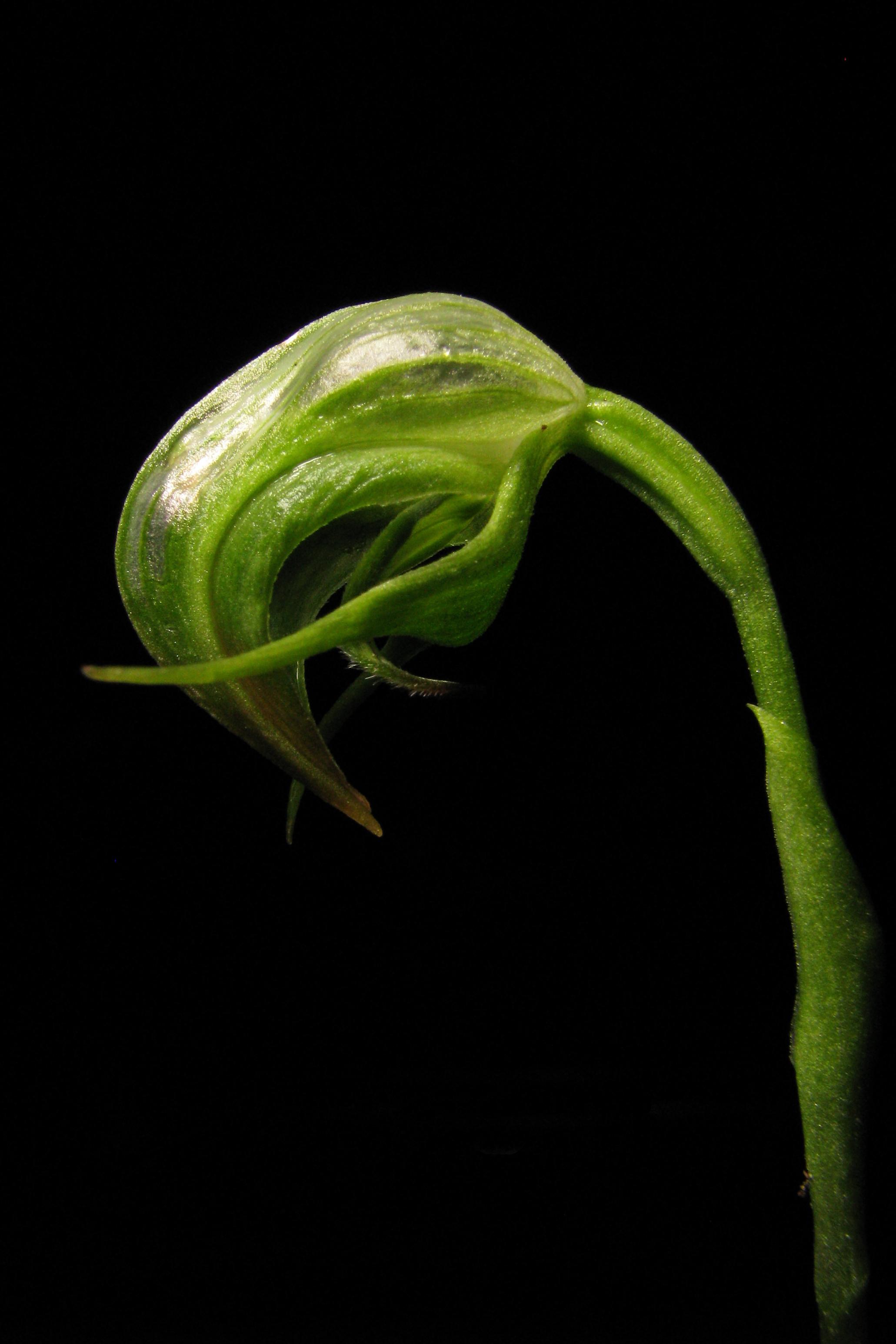Image of Nodding greenhood