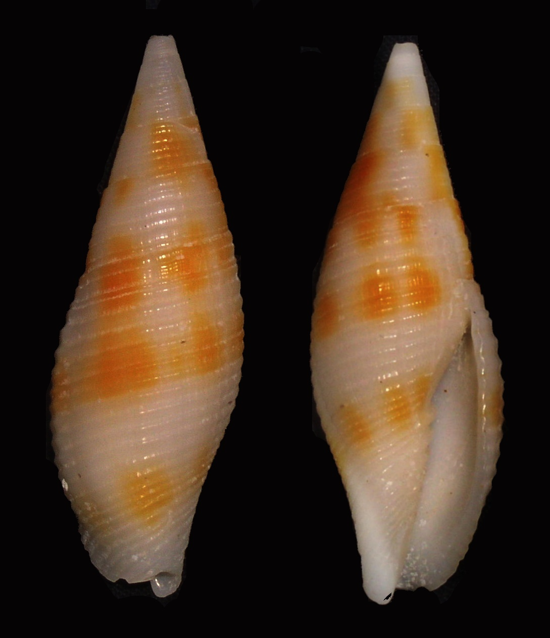 Image of <i>Mitra rubiginosa</i> Reeve 1844