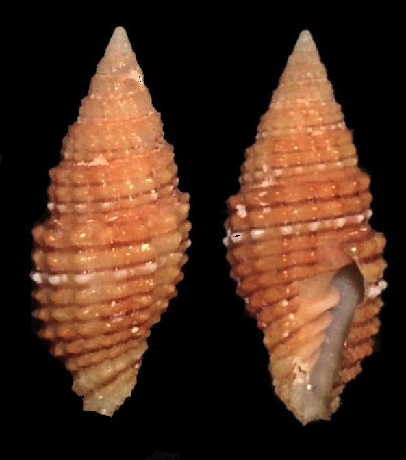 Image of <i>Vexillum crocatum</i> (Lamarck 1811)
