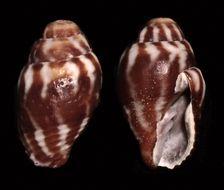 Image of <i>Vexillum cavea</i> (Reeve 1844)