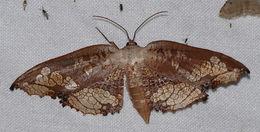 Image of <i>Draconia denticulata</i> Pagenstecher 1892