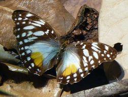 Image of <i>Cymothoe beckeri</i>