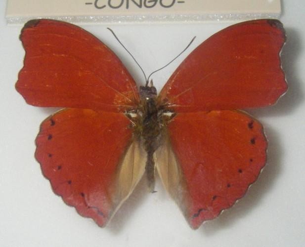 Image of <i>Cymothoe sangaris</i> Godart 1823