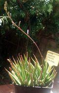 Image of <i>Haworthia longiana</i> Poelln.
