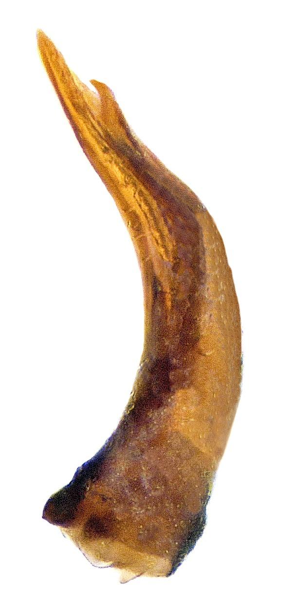 Image of <i>Melanophthalma suturalis</i> (Mannerheim 1844) Mannerheim 1844