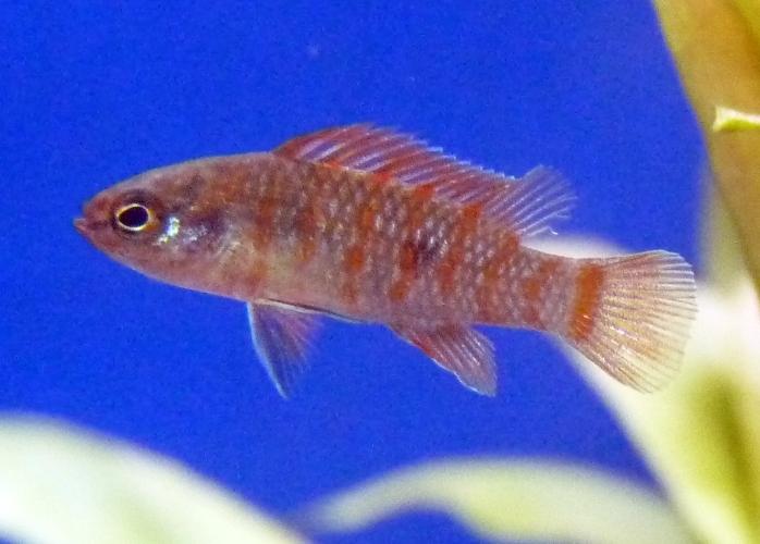 Image of Scarlet Badis