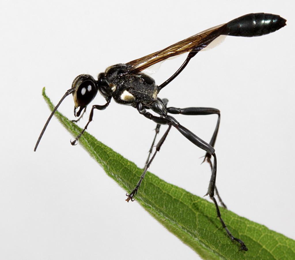 Слика од <i>Eremnophila aureonotata</i> (Cameron 1888)