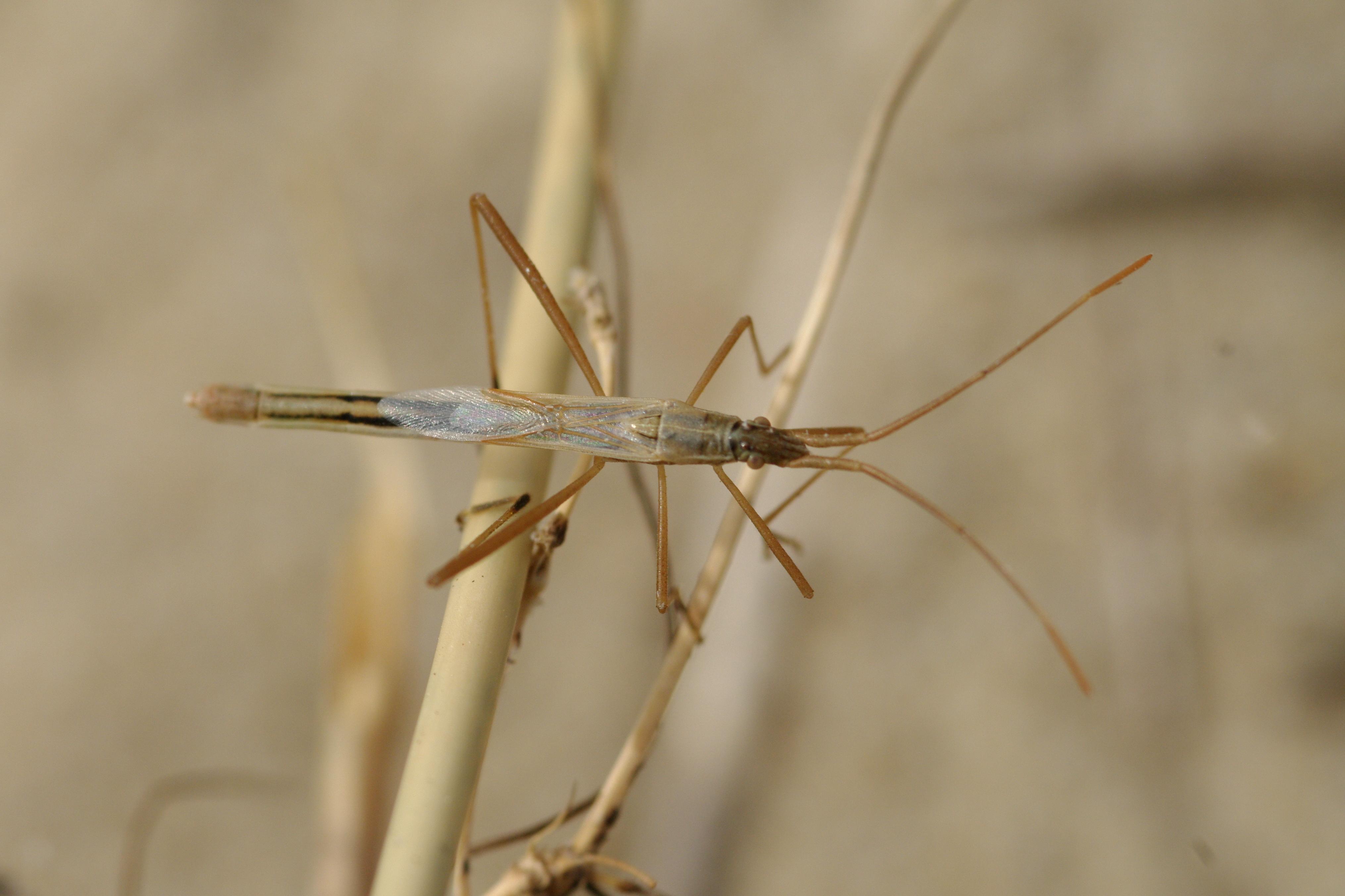 Image of <i>Chorosoma schillingi</i>