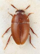 Image of <i>Eocatops lapponicus</i> Szymczakowski 1975