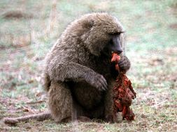 Image of Olive baboon