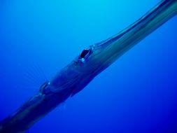 Image of Deepwater cornetfish