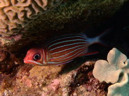 Image of Crown Squirrelfish