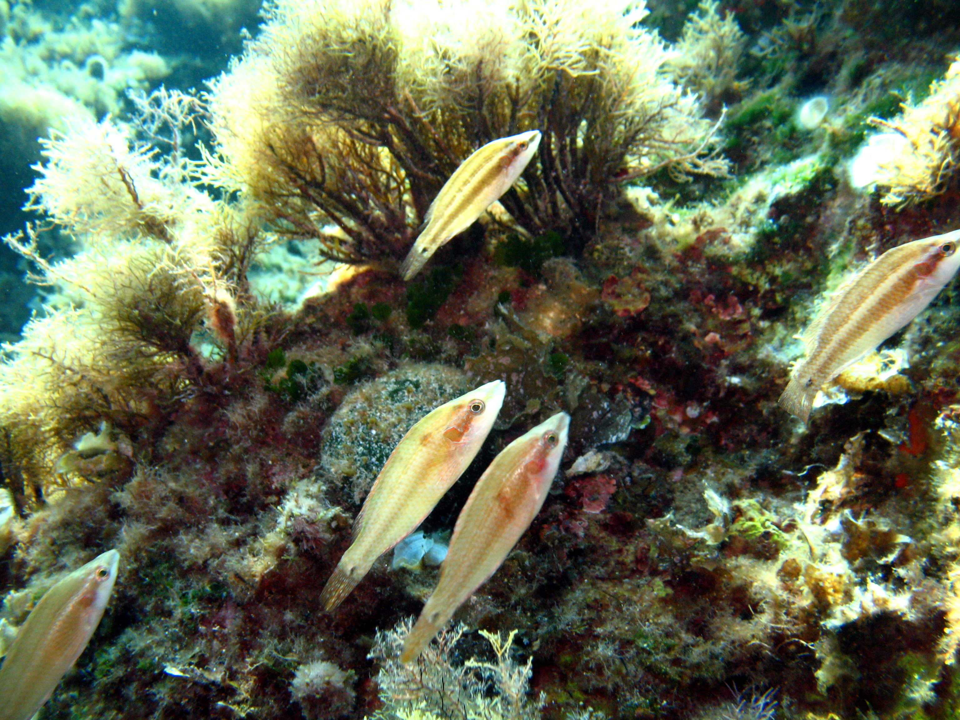 Image of East Atlantic Peacock Wrasse
