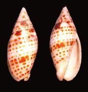 Image of <i>Mitra cardinalis</i> (Gmelin 1791)