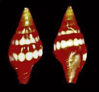 Image of <i>Vexillum semicostatum</i> (Anton 1838)