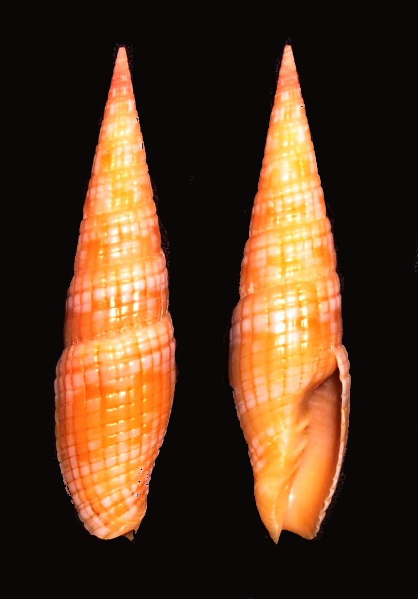 Image of <i>Vexillum costatum</i> (Gmelin 1791)