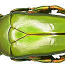 Image of <i>Caelorrhina superba</i> (Gerstaecker 1882)