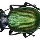 Image of Calosoma