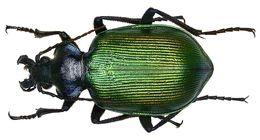 Image of <i><i>Calosoma</i></i> (Calosoma) <i>sycophanta</i> (Linnaeus 1758)