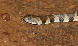 Image of Mountain Keelback