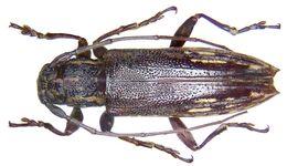 Image of <i>Mimosybra surigaonis</i> (Heller 1923)