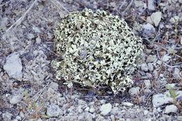 Imagem de <i>Cladonia foliacea</i> (Huds.) Willd.