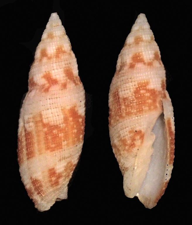 Image of <i>Neocancilla clathrus</i> (Gmelin 1791)
