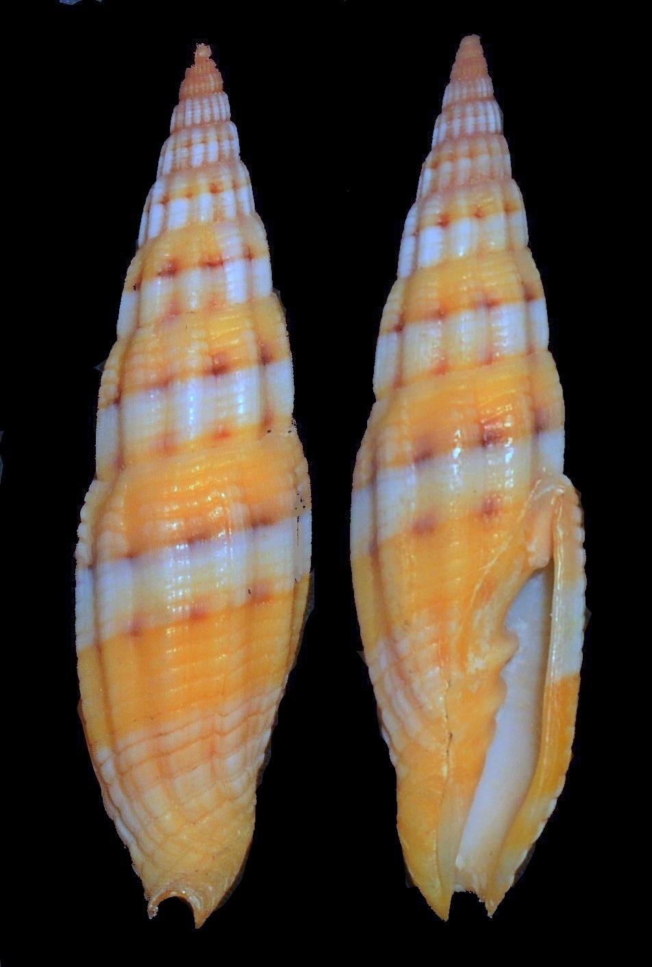 Image of <i>Vexillum dennisoni</i> (Reeve 1844)