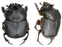 Image of <i>Coprophanaeus telamon</i> ssp. <i>corythus</i> Harold 1863