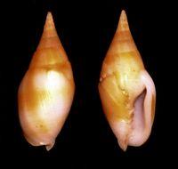 Image of <i>Mitra acuminata</i> Swainson 1824