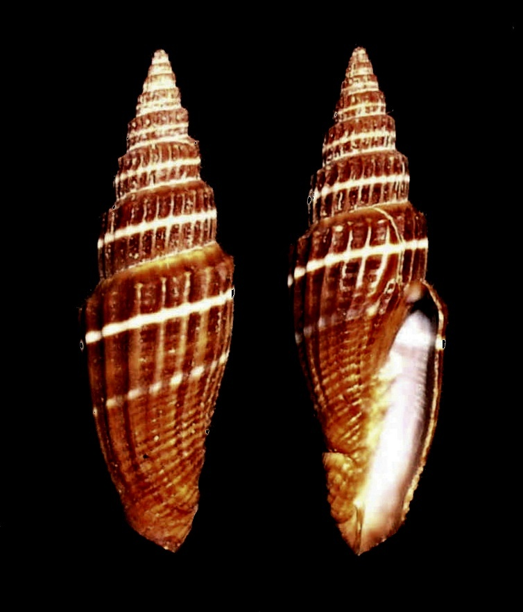 Image of <i>Vexillum subdivisum</i> (Gmelin 1791)
