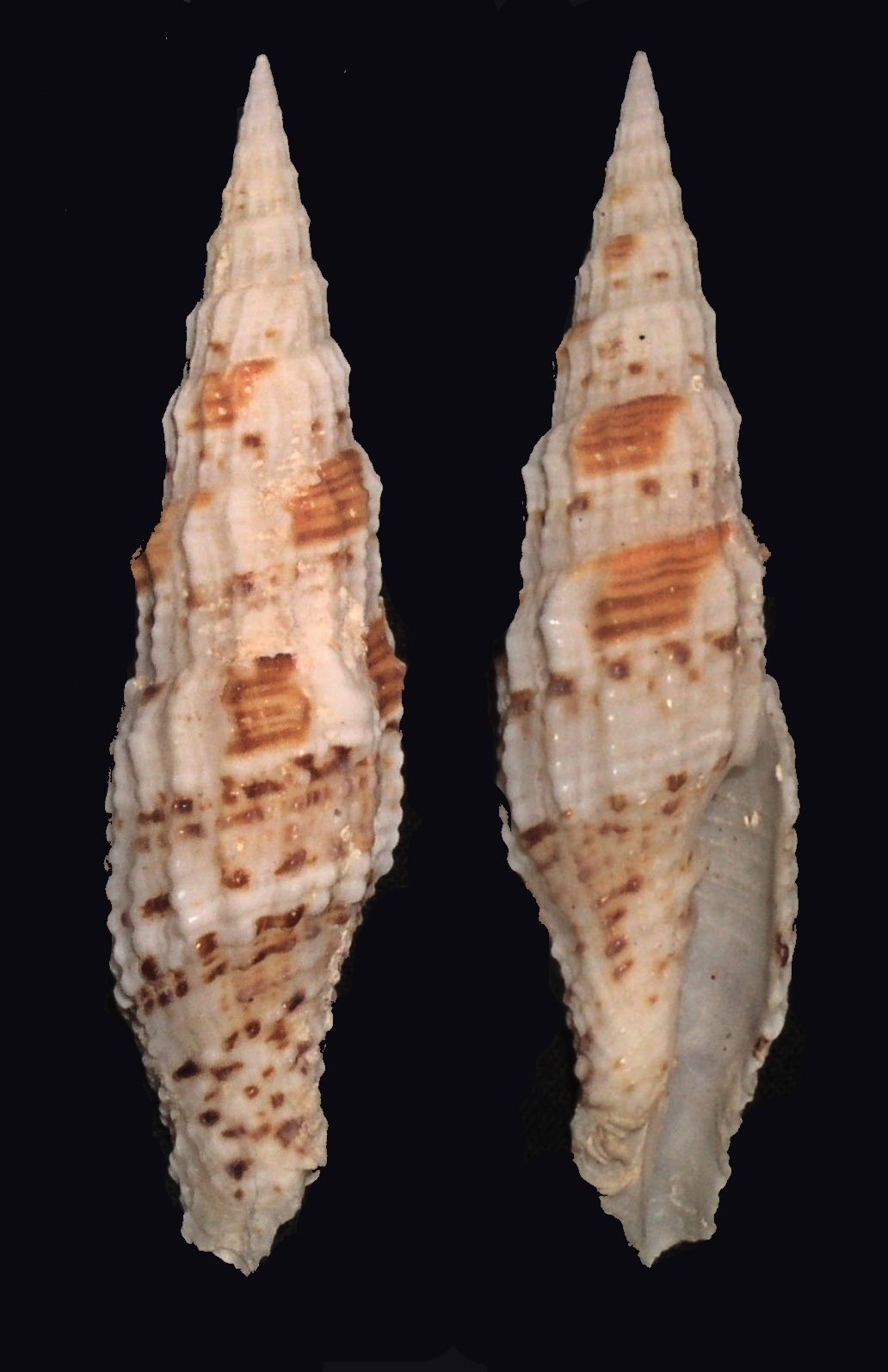 Image of <i>Vexillum mirabile</i> (A. Adams 1853)